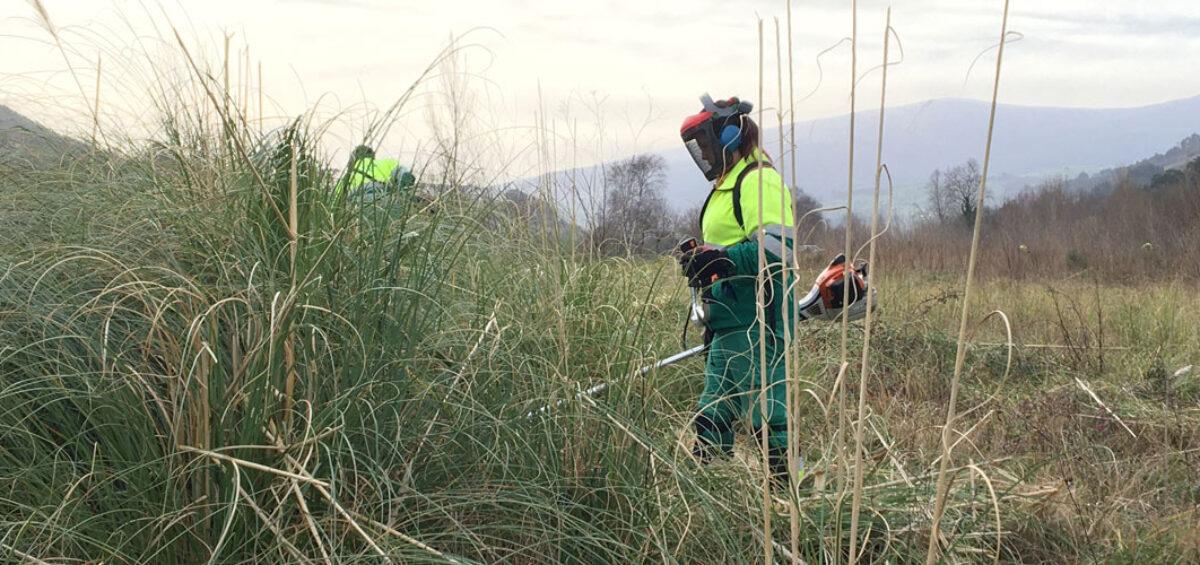 La eliminación del plumero en Cantabria, en línea con la Agenda 2030